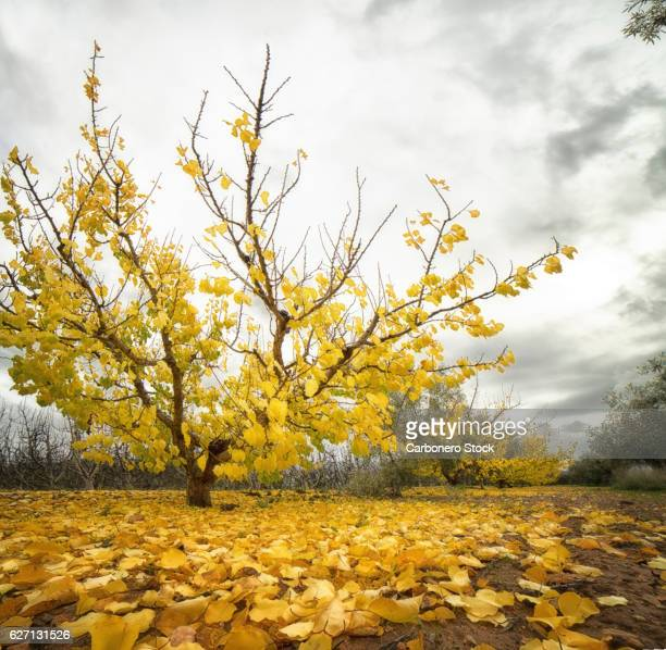 Apricot tree in autumn