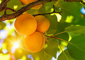 Apricot tree with fruits growing in the garden