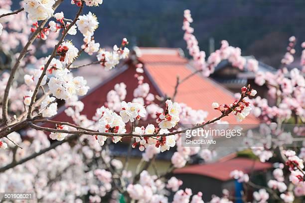 Apricot Village, Nagano Prefecture, Japan