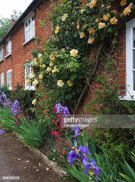Apricot yellow Buff Beauty variety musk climber rose growing on brick cottage wall Suffolk England