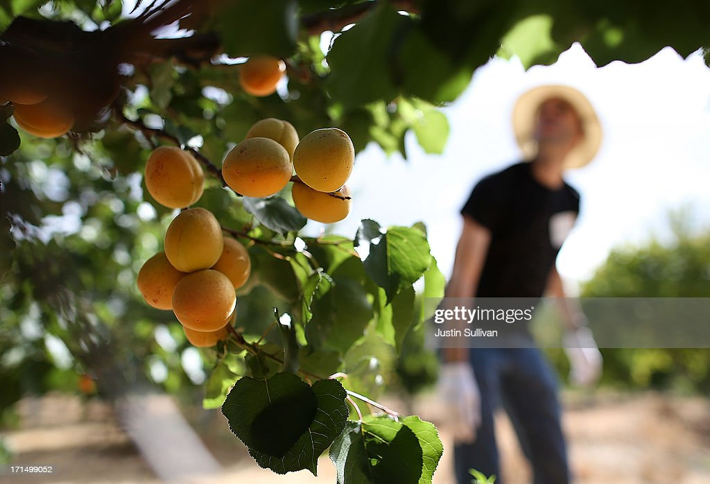 Apricots hang from a tree during a Village Harvest volunteers harvest apricot trees at Guadalupe Historic Orchard on June 25, 2013 in San Jose, California. Village Harvest and other San Francisco Bay Area nonprofit groups are volunteering to pick excessive fruit from homeowners' yards and other plots of land to donate to food banks, soup kitchens and organizations that help the needy. Urban harvesting, or gleaning, aims to collect fruit that normally goes to waste after it goes unpicked and falls to the ground. Village Harvest has donated thousands of pounds of fruit to local organizations.