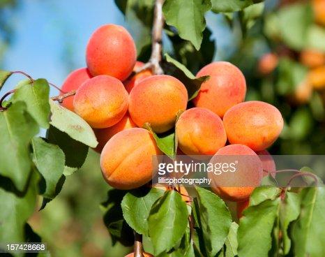 Abricots sur arbre enprovence photo getty images - Arbre provencal ...