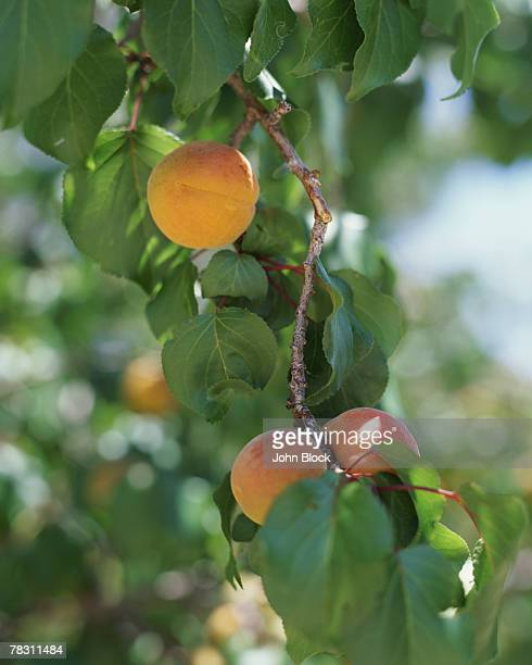 Apricot Tree Stock Photos And Pictures Getty Images
