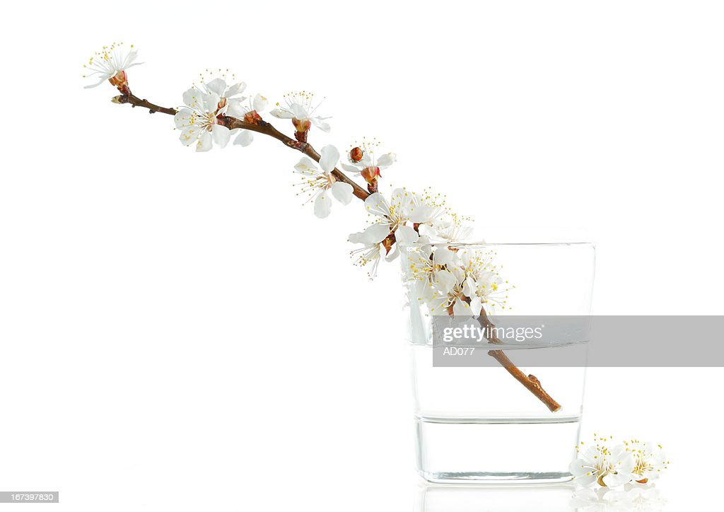 Apricot-tree flowers : Stock Photo