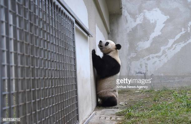 WOLONG April 11 2017 Photo taken on April 10 2017 shows giant panda Xing Ya in the Wolong National Nature Reserve southwest China's Sichuan Province...