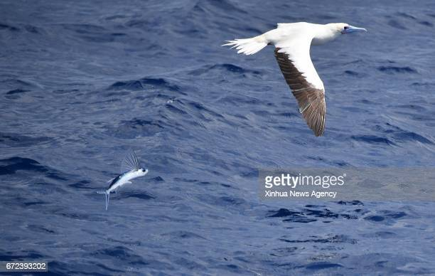 A flying fish jumps out of water behind a redfooted booby in Sansha south China's Hainan Province April 24 2017 A kind of magic fish or flying fish...