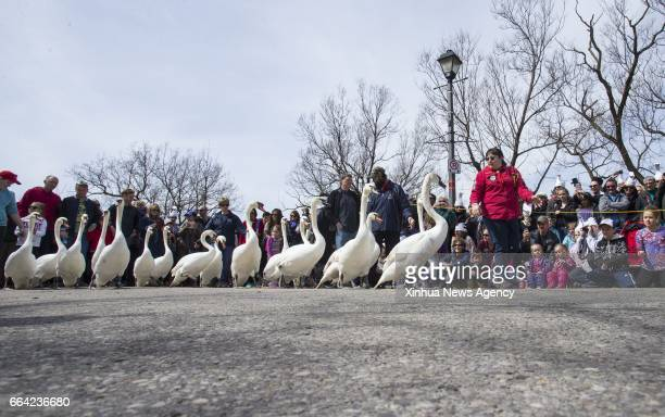 STRATFORD April 3 2017 A bevy of swans make its way toward the Avon River during the 2017 swan parade in Stratford Ontario Canada April 2 2017 The...