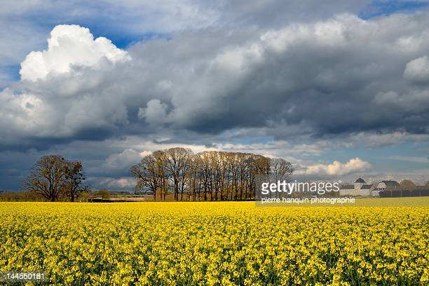 April sky and rapeseed field