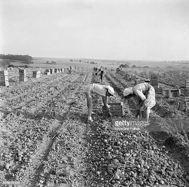 Après leur arrachage mécanique les pommes de terre sont mises en cageots par les femmes sous le soleil à NeuillySaintFront France le 14 septembre 1959