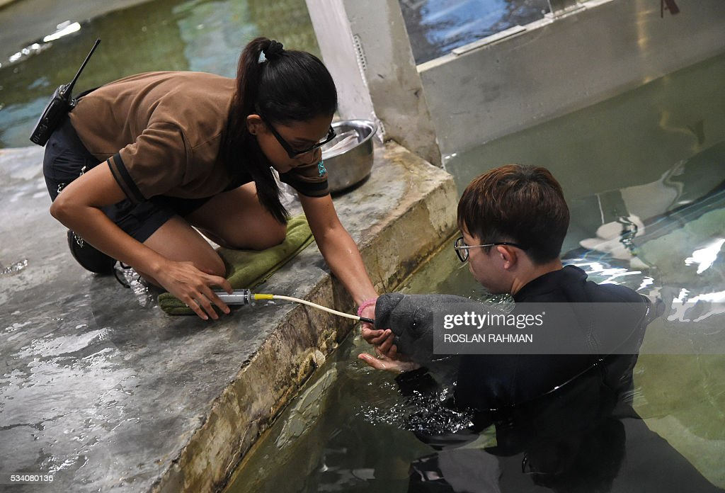 Aquarists at Singapore's River Safari theme park feed a West Indian calf manatee on May 25, 2016 after it was abandoned by its mother at birth. There are 14 West Indian manatees in the world's largest freshwater aquarium at the park. / AFP / ROSLAN