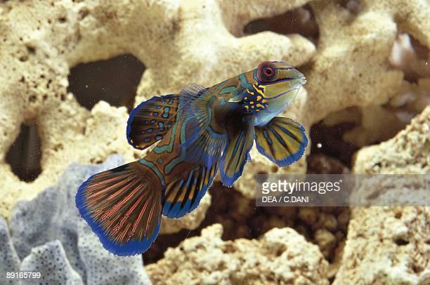 Aquarium fishes Mandarinfish or Mandarin dragonet swimming at coral