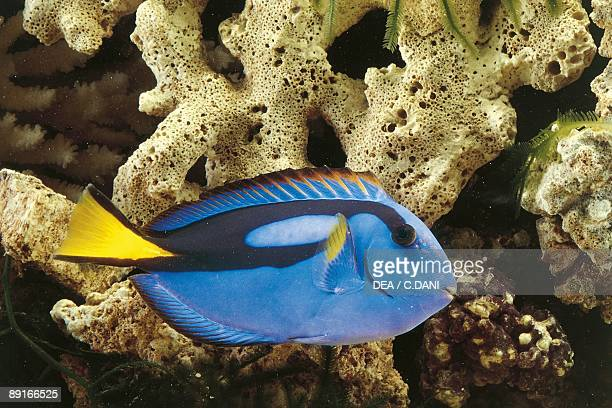 Aquarium fishes Regal tang