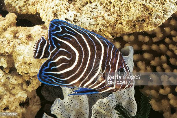 Aquarium fishes Semicircle angelfish