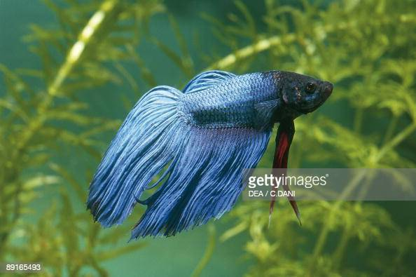 Poisson combattant siamois photos et images de collection for Lifespan of a betta fish in captivity