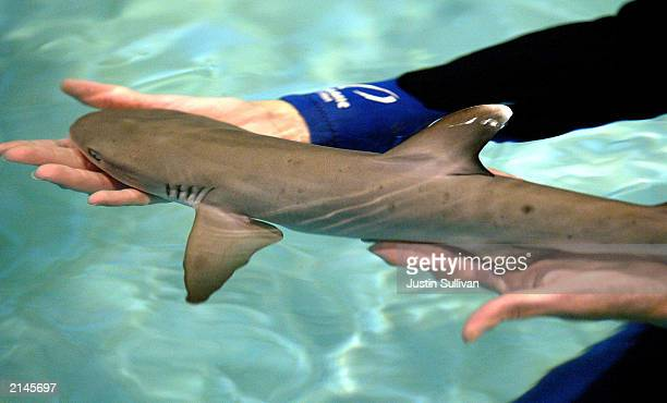 Aquatic biologist Pam Schaller holds a fourdayold whitetipped shark at the Steinhart Aquarium July 8 2003 in San Francisco California A sixfoot long...