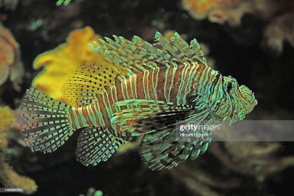 Aquatic life, Lionfish : Stock Photo