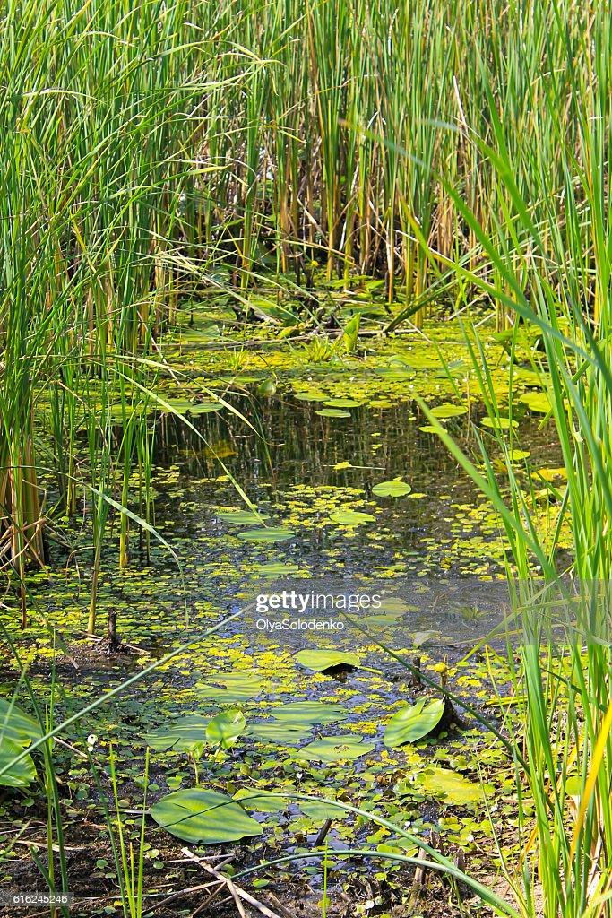 Aquatic plants in a swamp : Stock Photo