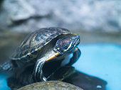 aquatic turtle standing on stone in aquarium. Blue aquarium water in background