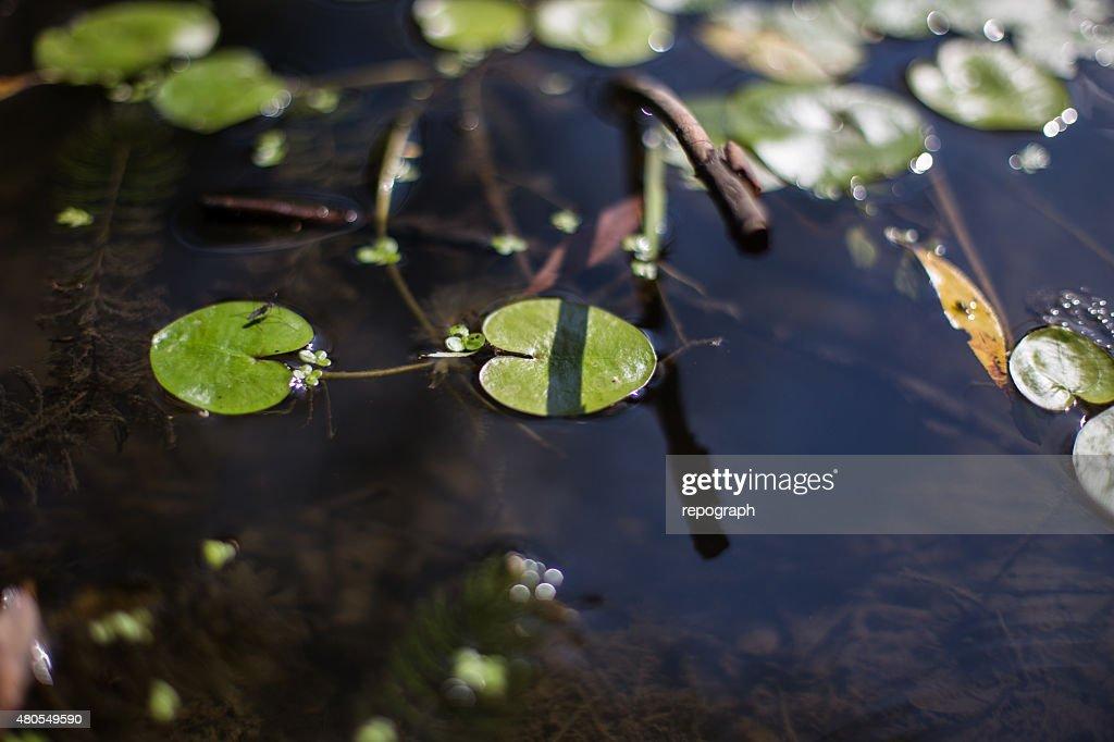 Vegetação aquáticos : Foto de stock