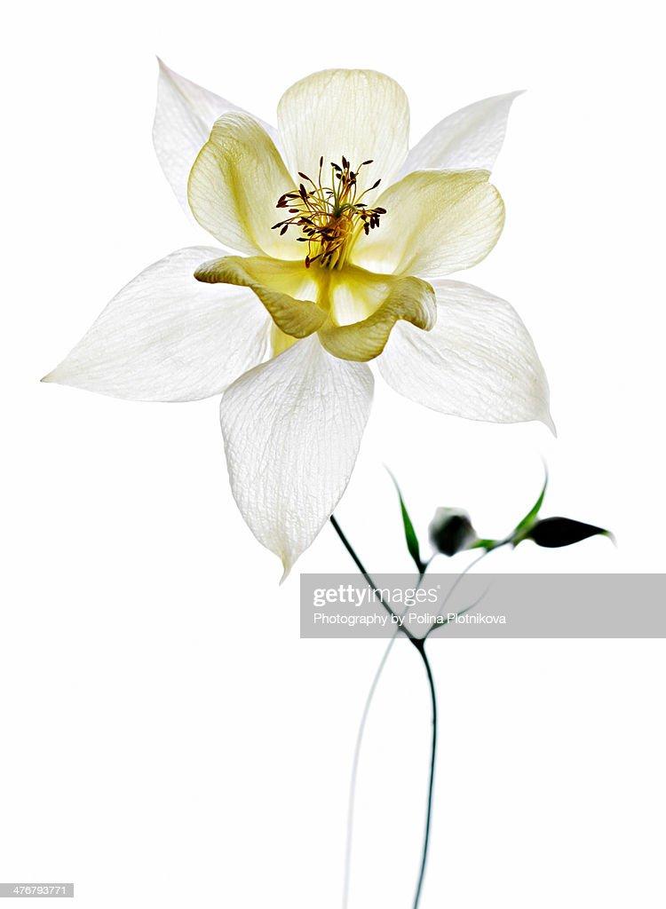 Aquiligia flower