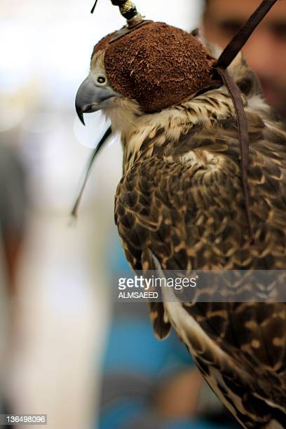 Arabian falcon bird, Dubai