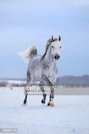 Arabian gray horse runs on snow field. : Stockfoto