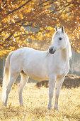 Arabian horse at morning on field