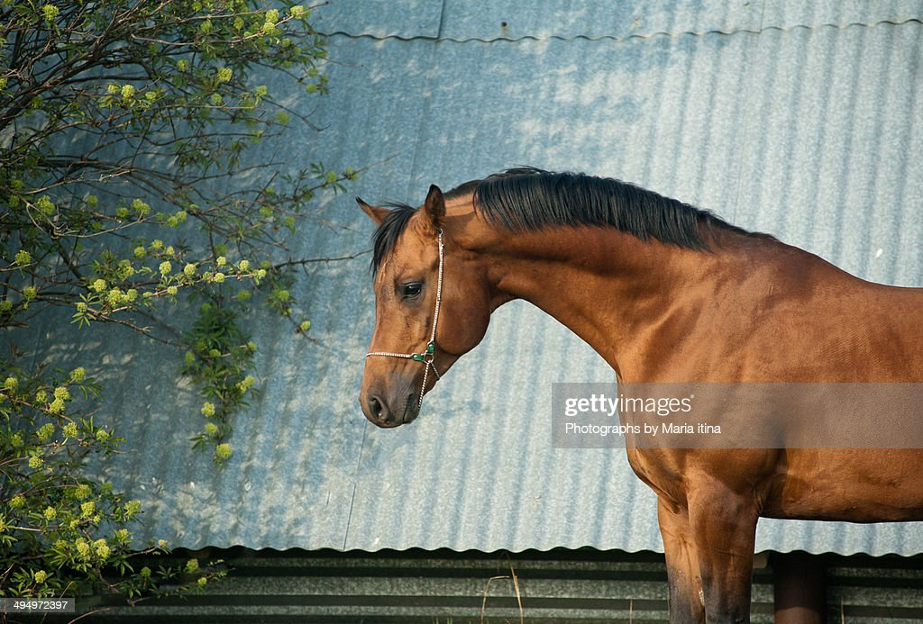 Arabian horse : Stock Photo