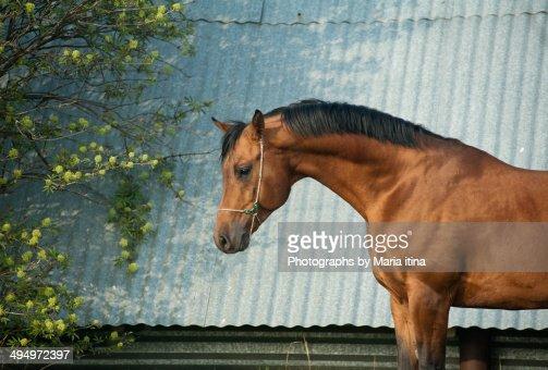 Arabian horse : Stock Photo