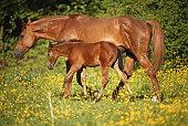 Arabian horse with foal in field, side view