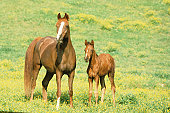 Arabian horses, mare with colt in field of yellow flowers