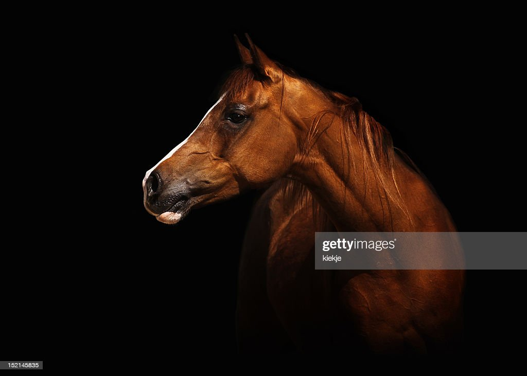 Arabian mare : Stock Photo