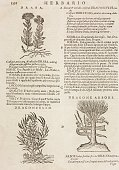 Arabian Mustard Wild dragon and Dragone arbore page from the Herbario Nuovo by Castore Durante engravings by Leonardo Norsini Parasole and Isabella...