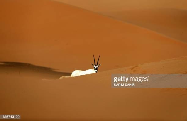 TOPSHOT Arabian Oryx are seen at the Arabian Oryx Sanctuary in Um alZamool near the United Arab Emirates' border with Saudi Arabia on March 23 2017...