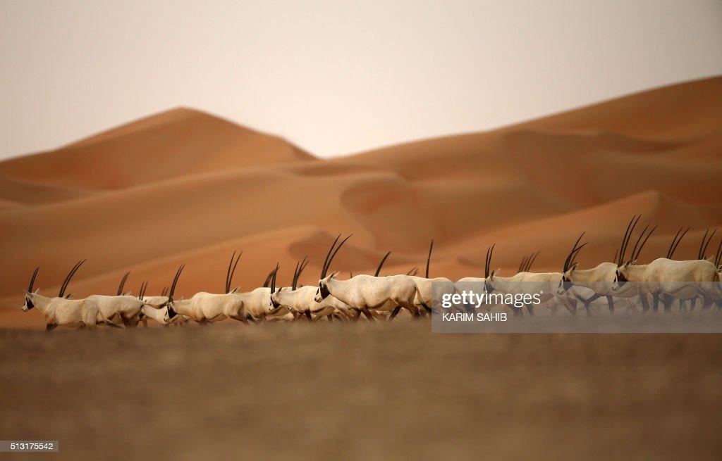 Arabian Oryx are seen at the Arabian Oryx Sanctuary in Umm ...