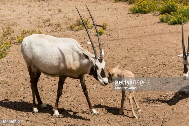 Arabian Oryx, baby