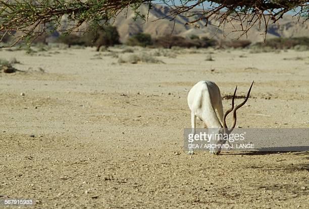 Arabian Oryx or White Oryx HaiBar Nature Reserve Yotvata Israel