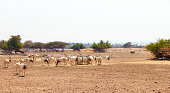 Arabian oryx or white oryx (Oryx leucoryx) medium-sized antelope with long, straight horns and tufted tail.