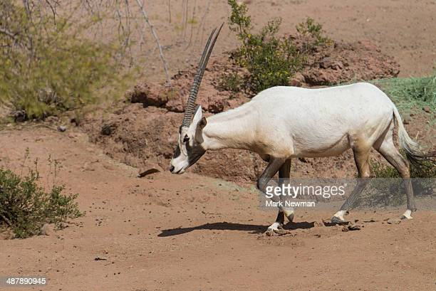 Arabian Oryx Unicorn