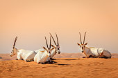 Oryxes or Arabian antelopes in the Desert Conservaion Reserve near Dubai, UAE