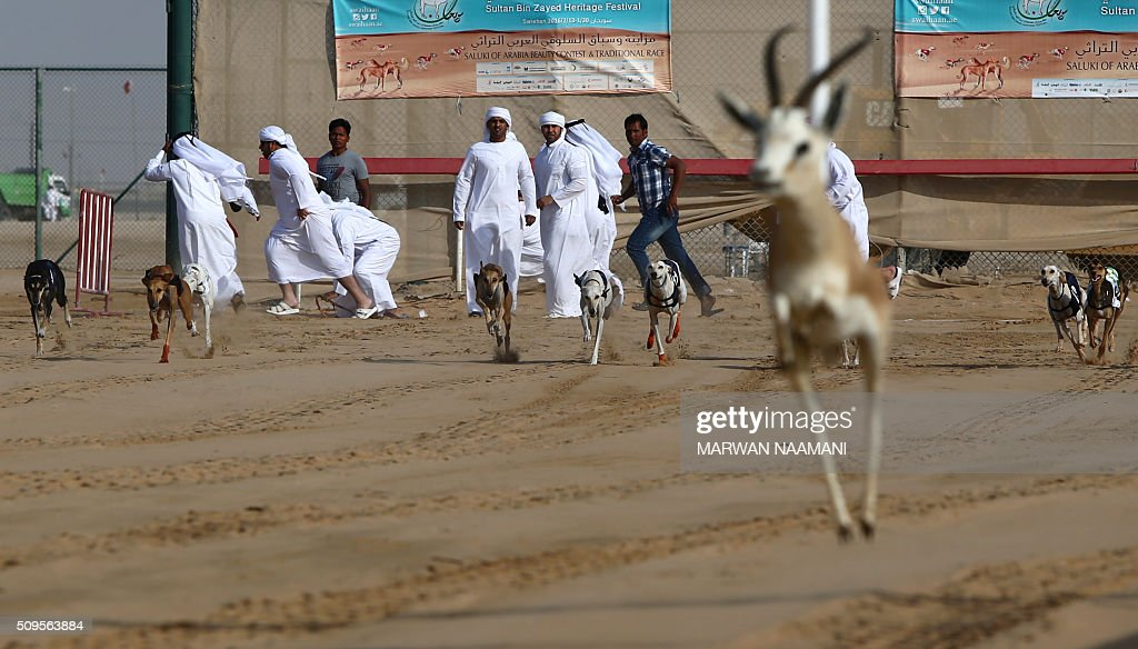 Arabian saluki dogs follow a stuffed gazelle during the traditional annual dog race in Shweihan on the outskirts of Abu Dhabi on February 11, 2016. The race gives owners of Arabian pure-bred salukis the opportunity to test the abilities of their hounds in a traditional, natural desert setting. / AFP / MARWAN NAAMANI