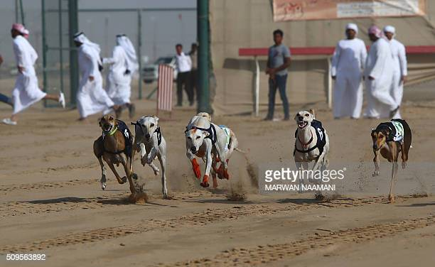 Arabian saluki dogs race during the traditional annual dog race in Shweihan on the outskirts of Abu Dhabi on February 11 2016 The race gives owners...