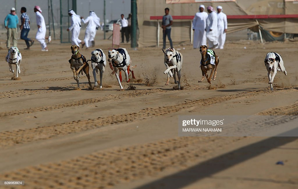 Arabian saluki dogs race during the traditional annual dog race in Shweihan on the outskirts of Abu Dhabi on February 11, 2016. The race gives owners of Arabian pure-bred salukis the opportunity to test the abilities of their hounds in a traditional, natural desert setting. / AFP / MARWAN NAAMANI