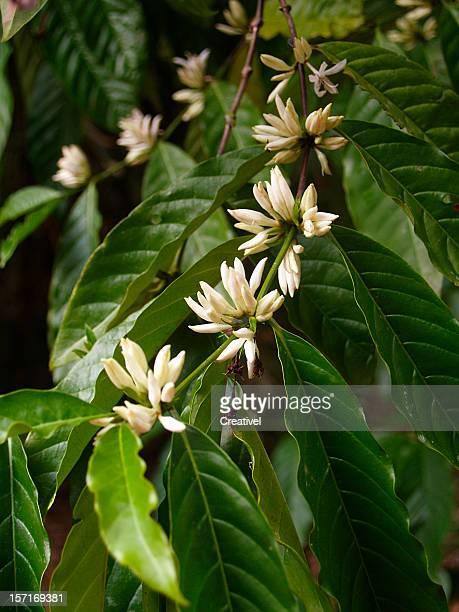 アラビカコーヒーの木の花