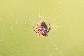Araneae roja tejiendo una tela.