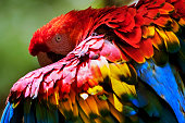Close-up of a Red-and-green Macaw (Ara chloropterus) that hides behind its wing and shows its beautiful, colourful plumage.