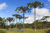Landscape with Araucaria angustifolia ( Brazilian pine) with sky and clouds background, Brazil. Selective focus