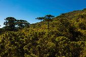 Araucaria tree forest under a blue sky in Minas Gerais, Monte Verde.