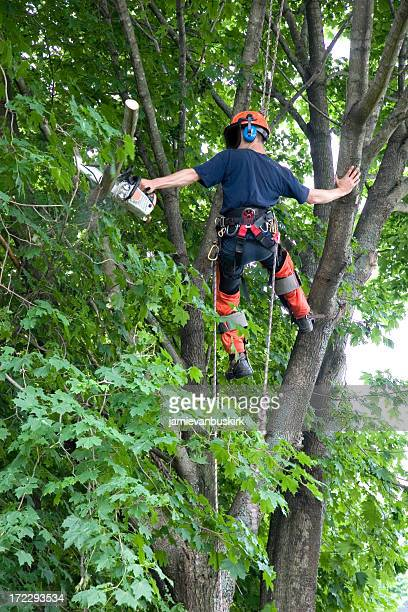 Arborist trims a branch
