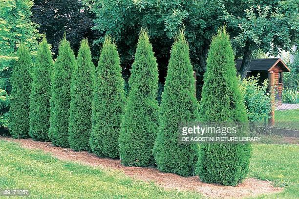 Arborvitae trees in a garden